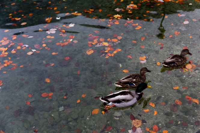 wild ducks swimming in calm water of lake in park